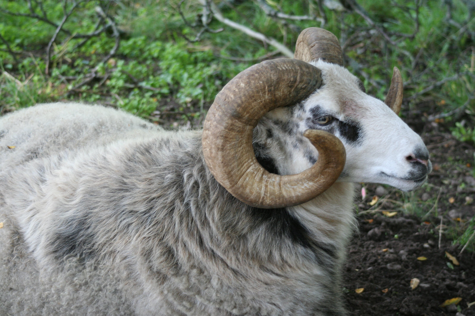 Gotlands sheep