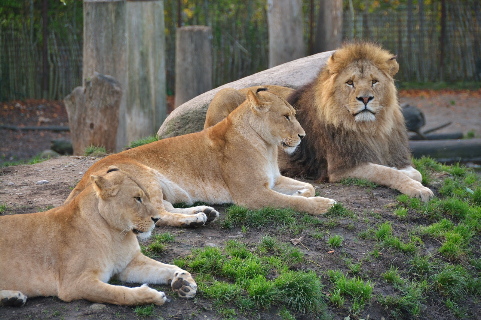 Lions in Odense ZOO
