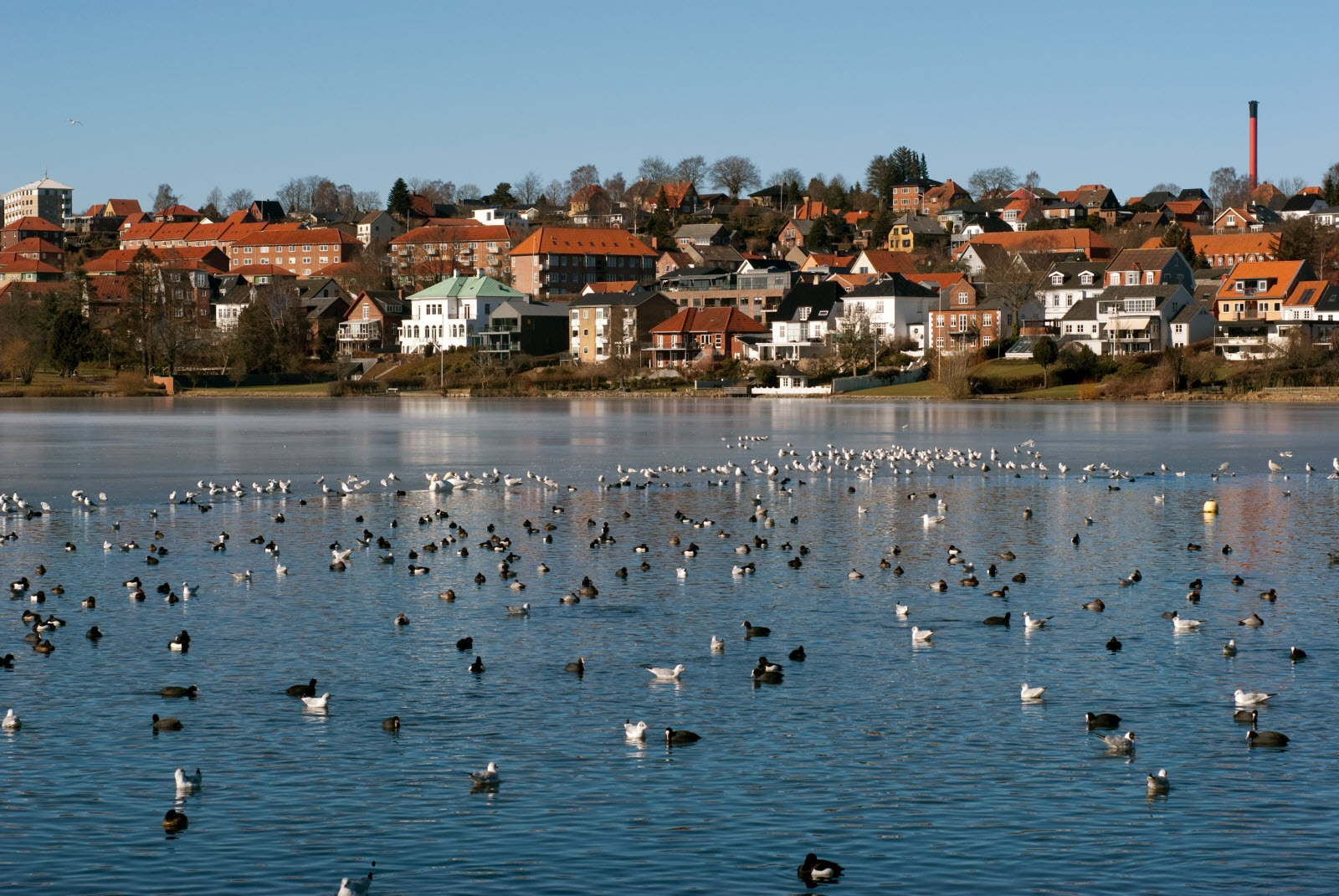 Birds all over the winter lake in Kolding.
